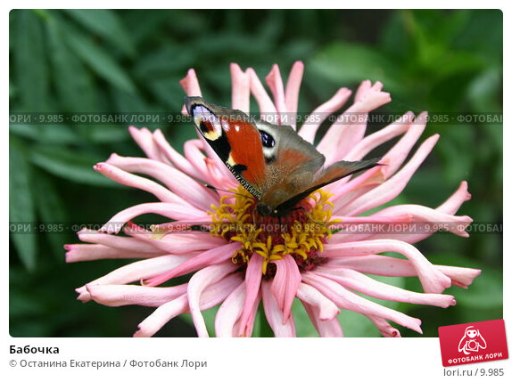 Бабочка, фото № 9985, снято 3 августа 2005 г. (c) Останина Екатерина / Фотобанк Лори