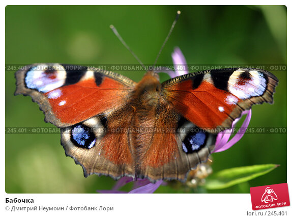 Бабочка, эксклюзивное фото № 245401, снято 17 августа 2004 г. (c) Дмитрий Неумоин / Фотобанк Лори