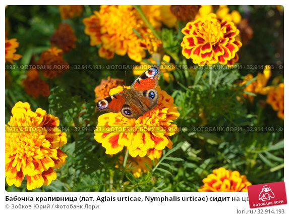 Бабочка крапивница (лат. Aglais urticae, Nymphalis urticae) сидит на цветке бархатца. Стоковое фото, фотограф Зобков Георгий / Фотобанк Лори