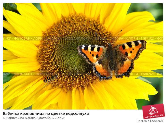 Купить «Бабочка крапивница на цветке подсолнуха», фото № 1584921, снято 21 марта 2019 г. (c) Panitchkina Natalia / Фотобанк Лори
