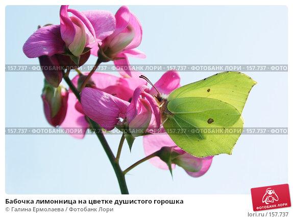 Бабочка лимонница на цветке душистого горошка, фото № 157737, снято 6 августа 2007 г. (c) Галина Ермолаева / Фотобанк Лори