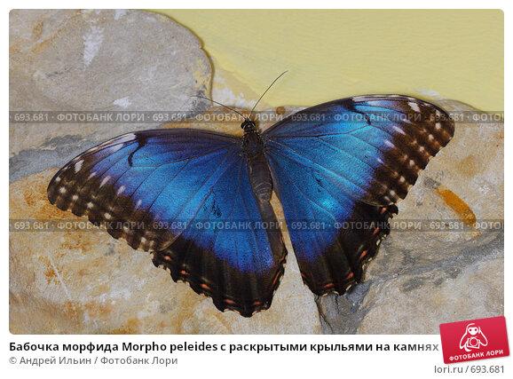 Купить «Бабочка морфида Morpho peleides с раскрытыми крыльями на камнях», фото № 693681, снято 31 января 2009 г. (c) Андрей Ильин / Фотобанк Лори