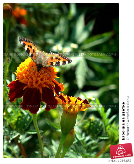 Бабочка на цветке, фото № 216857, снято 10 декабря 2016 г. (c) ElenArt / Фотобанк Лори