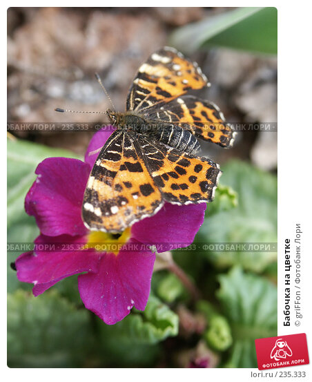 Бабочка на цветке, фото № 235333, снято 6 мая 2006 г. (c) griFFon / Фотобанк Лори
