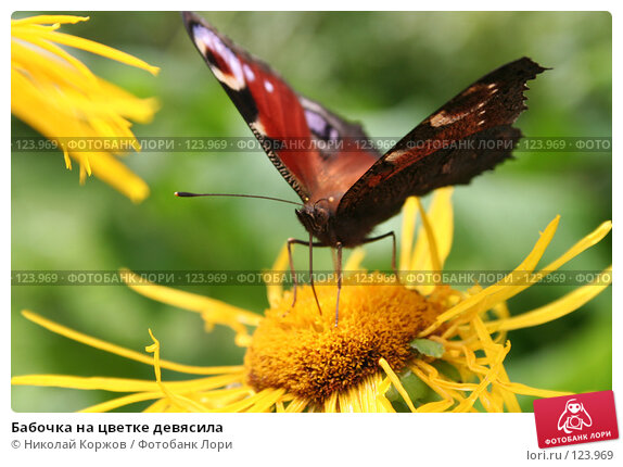 Бабочка на цветке девясила, фото № 123969, снято 7 августа 2006 г. (c) Николай Коржов / Фотобанк Лори
