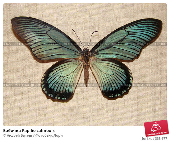 Бабочка Papilio zalmoxis, фото № 333677, снято 27 февраля 2008 г. (c) Андрей Багаев / Фотобанк Лори