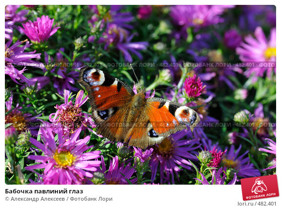 Бабочка павлиний глаз, эксклюзивное фото № 482401, снято 27 сентября 2008 г. (c) Александр Алексеев / Фотобанк Лори