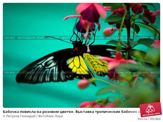 Бабочка повисла на розовом цветке. Выставка тропических бабочек на ВВЦ, фото № 169869, снято 30 июня 2007 г. (c) Петухов Геннадий / Фотобанк Лори