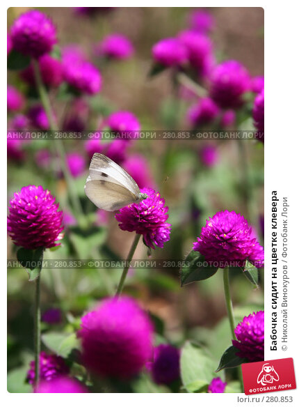 Бабочка сидит на цветке клевера, фото № 280853, снято 8 марта 2017 г. (c) Николай Винокуров / Фотобанк Лори