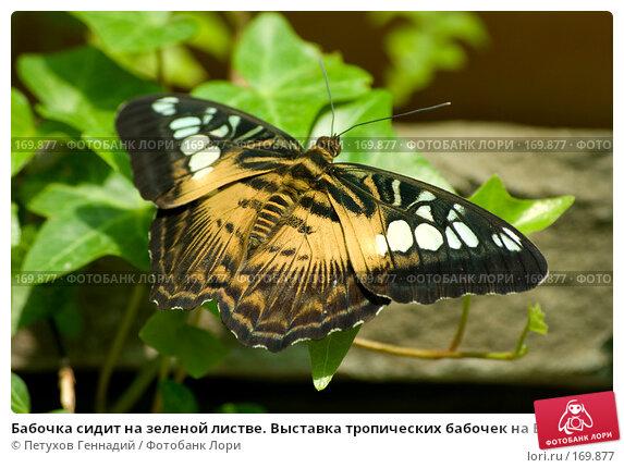 Бабочка сидит на зеленой листве. Выставка тропических бабочек на ВВЦ, фото № 169877, снято 30 июня 2007 г. (c) Петухов Геннадий / Фотобанк Лори