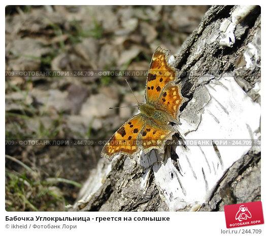 Бабочка Углокрыльница - греется на солнышке, фото № 244709, снято 4 апреля 2008 г. (c) ikheid / Фотобанк Лори