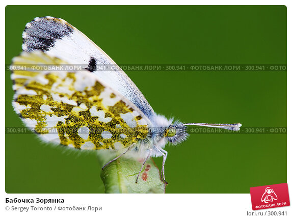 Бабочка Зорянка, фото № 300941, снято 18 мая 2008 г. (c) Sergey Toronto / Фотобанк Лори