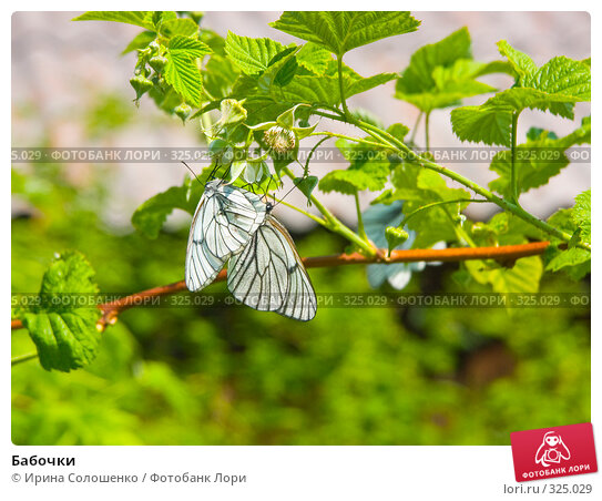 Бабочки, фото № 325029, снято 24 июня 2006 г. (c) Ирина Солошенко / Фотобанк Лори