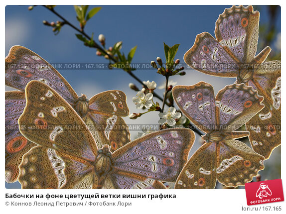 Купить «Бабочки на фоне цветущей ветки вишни графика», иллюстрация № 167165 (c) Коннов Леонид Петрович / Фотобанк Лори