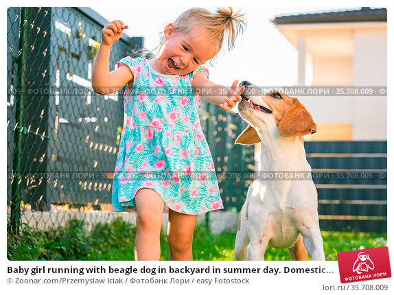Baby girl running with beagle dog in backyard in summer day. Domestic... Стоковое фото, фотограф Zoonar.com/Przemyslaw Iciak / easy Fotostock / Фотобанк Лори