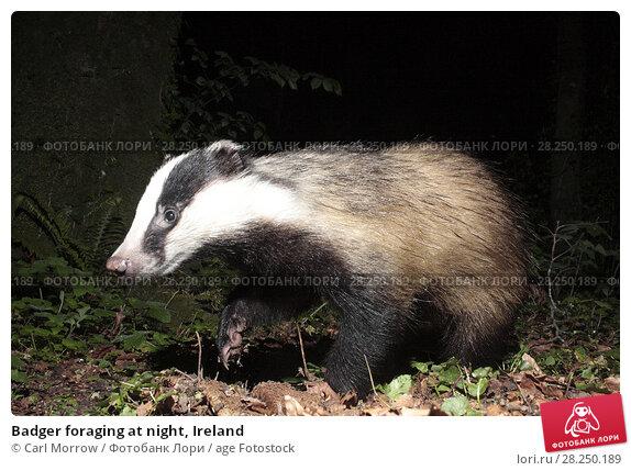 Купить «Badger foraging at night, Ireland», фото № 28250189, снято 6 мая 2017 г. (c) age Fotostock / Фотобанк Лори