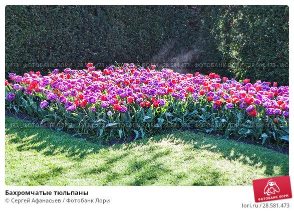 Купить «Бахромчатые тюльпаны», фото № 28581473, снято 4 мая 2018 г. (c) Сергей Афанасьев / Фотобанк Лори