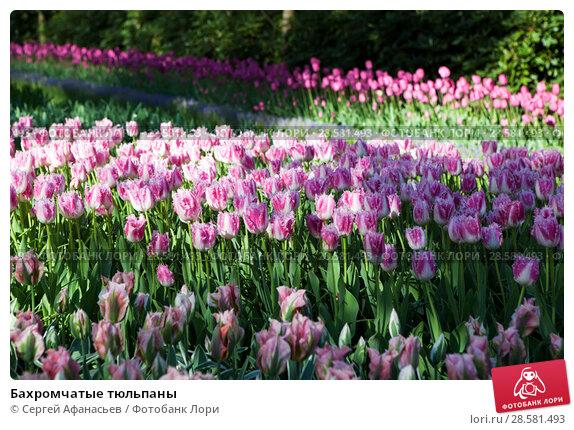Купить «Бахромчатые тюльпаны», фото № 28581493, снято 4 мая 2018 г. (c) Сергей Афанасьев / Фотобанк Лори