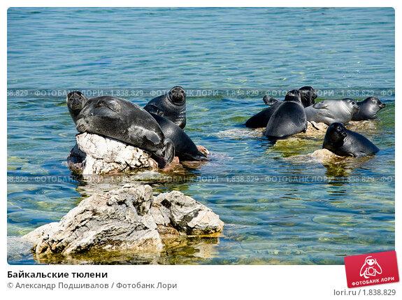 Купить «Байкальские тюлени», фото № 1838829, снято 20 июня 2010 г. (c) Александр Подшивалов / Фотобанк Лори