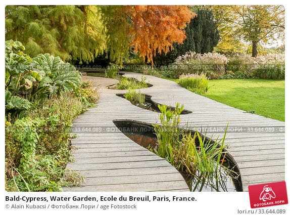 Bald-Cypress, Water Garden, Ecole du Breuil, Paris, France. Стоковое фото, фотограф Alain Kubacsi / age Fotostock / Фотобанк Лори