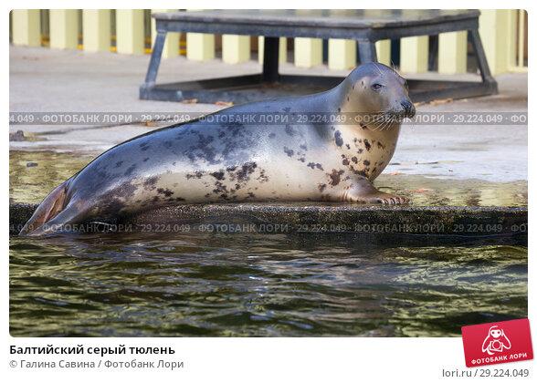 Купить «Балтийский серый тюлень», фото № 29224049, снято 10 октября 2018 г. (c) Галина Савина / Фотобанк Лори