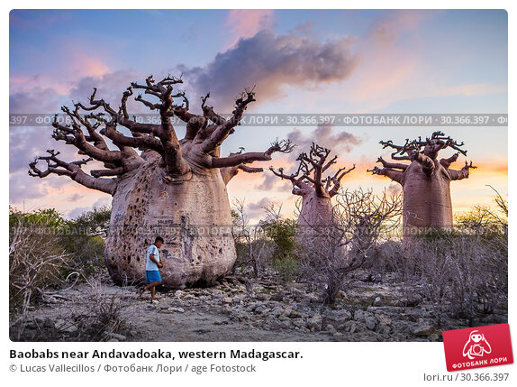Купить «Baobabs near Andavadoaka, western Madagascar.», фото № 30366397, снято 27 июня 2019 г. (c) age Fotostock / Фотобанк Лори