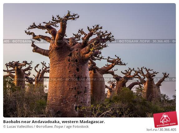 Купить «Baobabs near Andavadoaka, western Madagascar.», фото № 30366405, снято 7 июля 2020 г. (c) age Fotostock / Фотобанк Лори