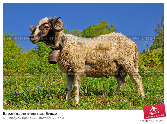 Купить «Баран на летнем пастбище», фото № 3198245, снято 26 мая 2011 г. (c) Швадчак Василий / Фотобанк Лори