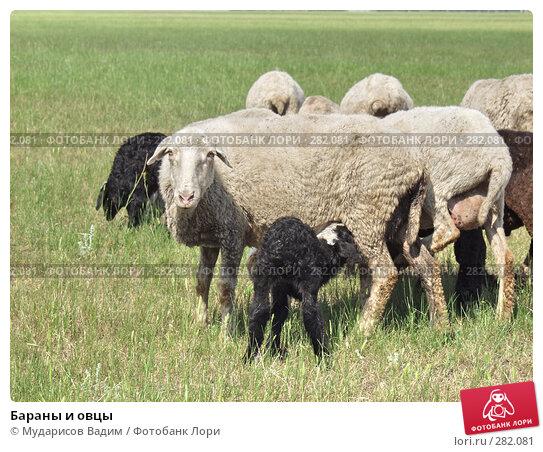 Бараны и овцы, фото № 282081, снято 9 июня 2005 г. (c) Мударисов Вадим / Фотобанк Лори