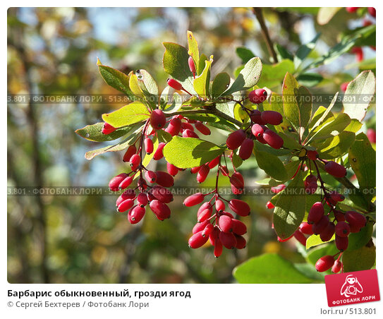 Барбарис обыкновенный, грозди ягод. Стоковое фото, фотограф Сергей Бехтерев / Фотобанк Лори