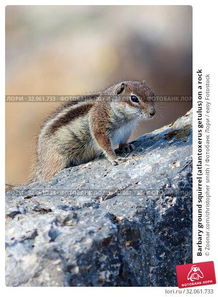 Barbary ground squirrel (atlantoxerus getulus) on a rock. Стоковое фото, фотограф Zoonar.com/christopher smith / easy Fotostock / Фотобанк Лори