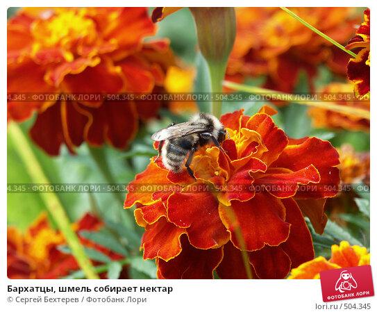 Купить «Бархатцы, шмель собирает нектар», фото № 504345, снято 14 сентября 2004 г. (c) Сергей Бехтерев / Фотобанк Лори