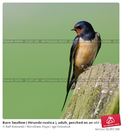 Barn Swallow ( Hirundo rustica ), adult, perched on an old wooden fencepost in front of nice clean green background, wildlife, Europe.. Стоковое фото, фотограф Ralf Kistowski / age Fotostock / Фотобанк Лори