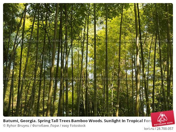 Купить «Batumi, Georgia. Spring Tall Trees Bamboo Woods. Sunlight In Tropical Forest, Summer Nature. Different Deciduous Trees Summer Background. Nobody. Environment Concept.», фото № 28700057, снято 27 мая 2016 г. (c) easy Fotostock / Фотобанк Лори