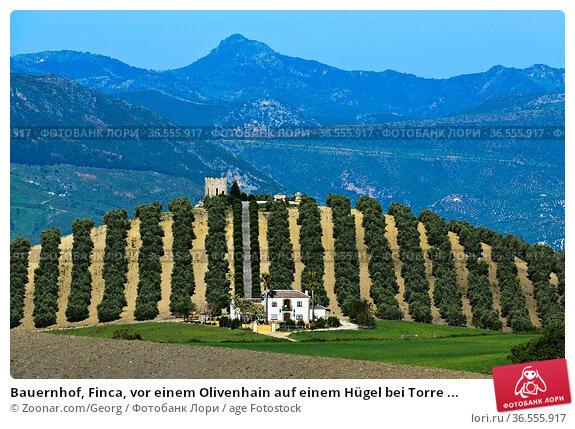 Bauernhof, Finca, vor einem Olivenhain auf einem Hügel bei Torre ... Стоковое фото, фотограф Zoonar.com/Georg / age Fotostock / Фотобанк Лори