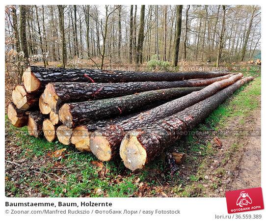 Baumstaemme, Baum, Holzernte. Стоковое фото, фотограф Zoonar.com/Manfred Ruckszio / easy Fotostock / Фотобанк Лори