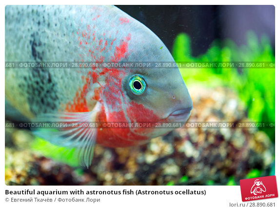 Купить «Beautiful aquarium with astronotus fish (Astronotus ocellatus)», фото № 28890681, снято 17 ноября 2017 г. (c) Евгений Ткачёв / Фотобанк Лори