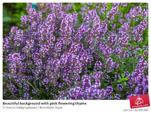 Купить «Beautiful background with pink flowering thyme», фото № 32935001, снято 14 июля 2019 г. (c) Ольга Сейфутдинова / Фотобанк Лори