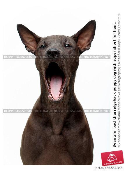 Beautiful bacl thai ridgeback puppy dog with super short fur hair... Стоковое фото, фотограф Zoonar.com/Svetlana Mandrikova (@Svetography) / easy Fotostock / Фотобанк Лори