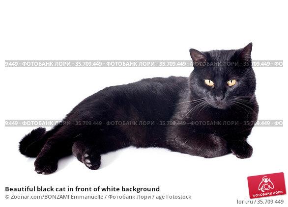 Beautiful black cat in front of white background. Стоковое фото, фотограф Zoonar.com/BONZAMI Emmanuelle / age Fotostock / Фотобанк Лори