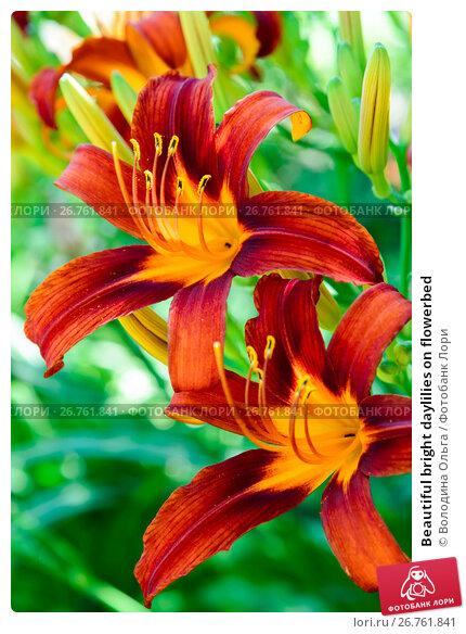 Купить «Beautiful bright daylilies on flowerbed», фото № 26761841, снято 6 августа 2017 г. (c) Володина Ольга / Фотобанк Лори