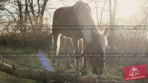 Beautiful brown horse with fluffy white mane chewing the grass on a wooden lawn eraly morning slow motion. Стоковое видео, видеограф Denis Mishchenko / Фотобанк Лори