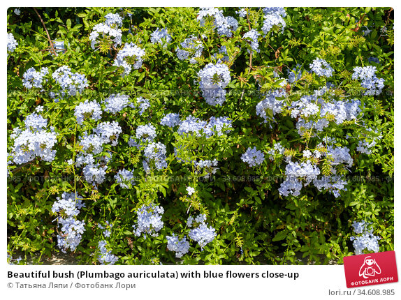 Beautiful bush (Plumbago auriculata) with blue flowers close-up. Стоковое фото, фотограф Татьяна Ляпи / Фотобанк Лори