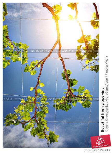 Купить «Beautiful fresh grape vine», фото № 27795213, снято 16 октября 2018 г. (c) PantherMedia / Фотобанк Лори