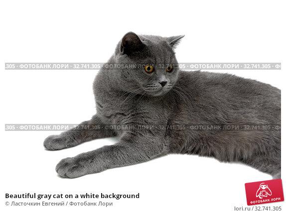 Beautiful gray cat on a white background. Стоковое фото, фотограф Ласточкин Евгений / Фотобанк Лори