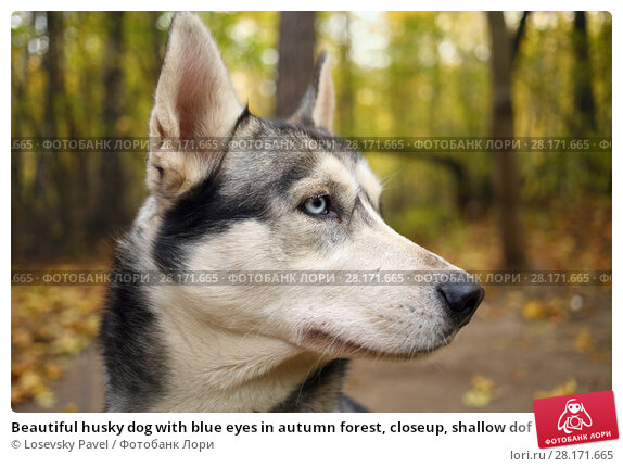 Купить «Beautiful husky dog with blue eyes in autumn forest, closeup, shallow dof», фото № 28171665, снято 18 октября 2015 г. (c) Losevsky Pavel / Фотобанк Лори