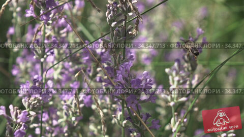Beautiful lavender flowers with flying working bee above, close-up view. Стоковое видео, видеограф Ярослав Данильченко / Фотобанк Лори