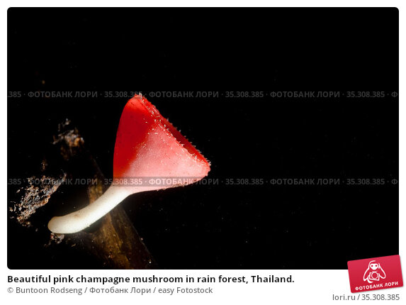 Beautiful pink champagne mushroom in rain forest, Thailand. Стоковое фото, фотограф Buntoon Rodseng / easy Fotostock / Фотобанк Лори
