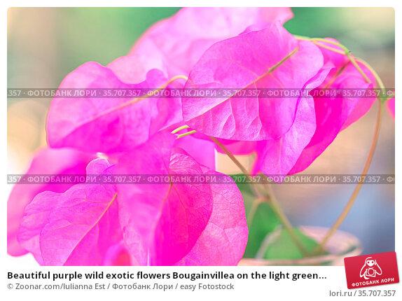 Beautiful purple wild exotic flowers Bougainvillea on the light green... Стоковое фото, фотограф Zoonar.com/Iulianna Est / easy Fotostock / Фотобанк Лори