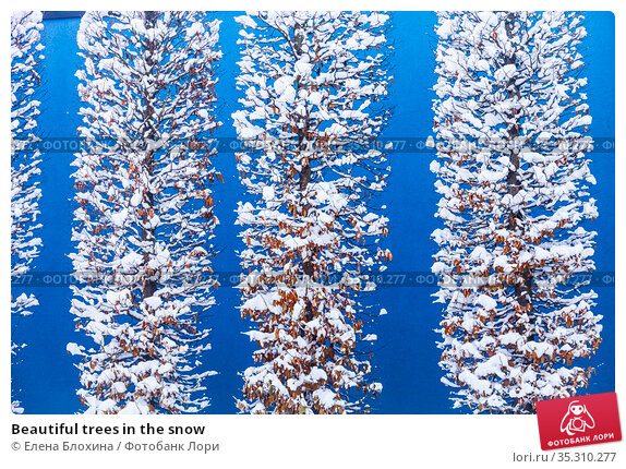 Beautiful trees in the snow. Стоковое фото, фотограф Елена Блохина / Фотобанк Лори